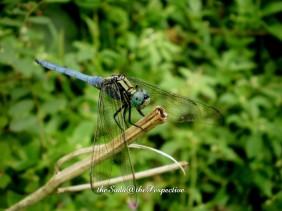 BlueDragonfly 2
